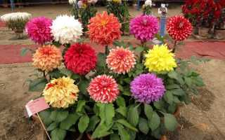 Почему не цветут георгины и что делать чтобы цвели