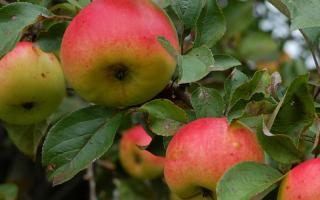 Как называется зимний сорт яблок