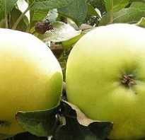 Сахарная бель сорт яблок