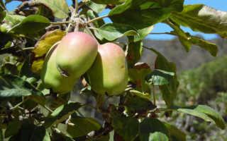 Пересадка яблони осенью