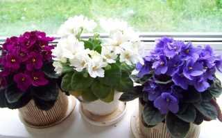 Комнатные фиалки уход и выращивание