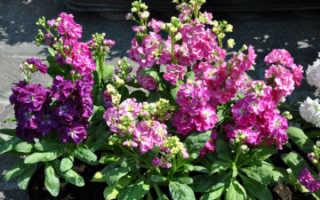 Цветы левкои многолетние сорта посадка и уход