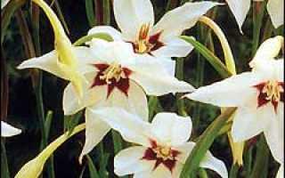 Необычные луковичные цветы ч 1 экзотика семейства ирисовых