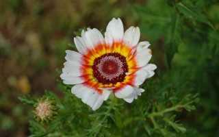 Как выращивать хризантема килеватая