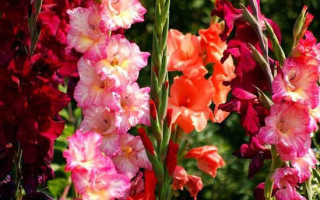 Гладиолусы весной в сибири
