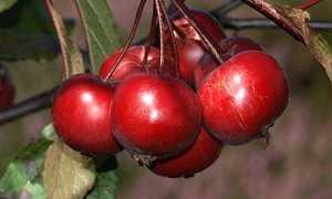 Сорта яблонь с фиолетовыми плодами