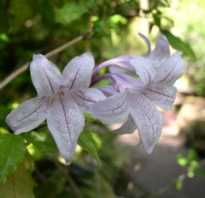 Комнатные цветы азистазия прекрасная и вариегатная с фото