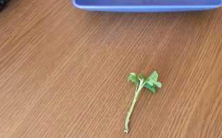 Как рассадить хризантему черенками