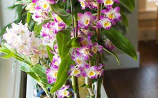 Орхидея дендробиум условия выращивания