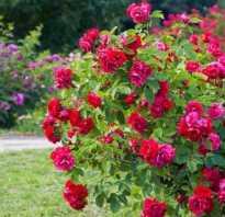 2 поливать розу от случая к случаю