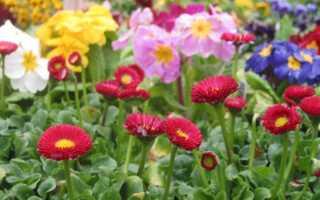 Двулетние цветы посев в саду