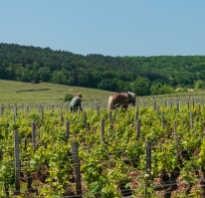 Болезни винограда молдова