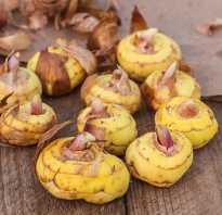 Как сохранить луковицы гладиолусов