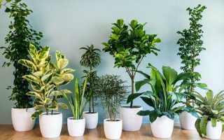 Домашние цветы не требующие много света и частого полива