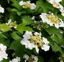 Какие фруктовые деревья имеют белые цветы