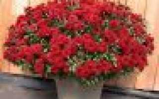 Выращивание и уход за кустовыми хризантемами