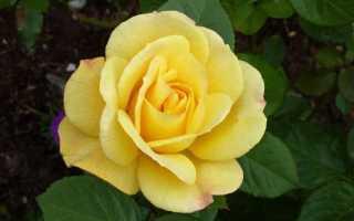 Артур белл роза описание