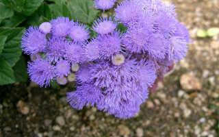 Цветы агератум посадка и уход в открытом грунте
