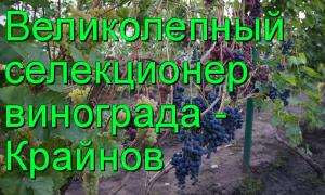Виноград подарок крайнова описание сорта фото
