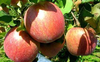 Характеристика яблони сорта фуджи