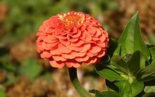 Цинния zinnia посев и выращивание цветов