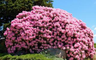 Альпийская роза фото