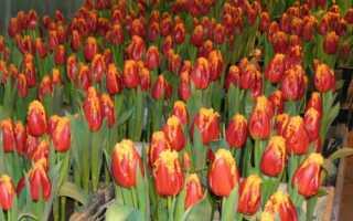 Тюльпаны традиционной окраски