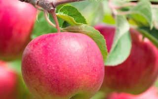 Как привить яблоню летом пошагово видео