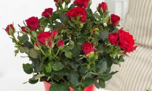 Как ухаживать за комнатными розами в домашних условиях