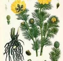 Адонис весенний описание