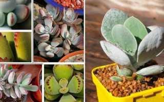 Комнатное растение котиледон уход и размножение фото видов с названиями