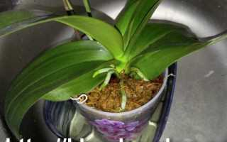 Как ухаживать за орхидеей фаленопсис в домашних условиях полив