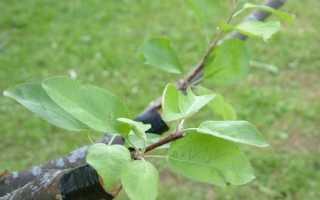 Прививка груши к корню дикую грушу
