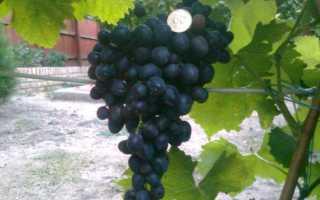 Виноград блэк фингер описание сорта фото отзывы