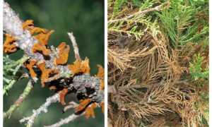 Желтые пятна на листьях груши как лечить