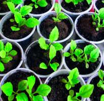 Посев астр на рассаду выращивание и посадка в почву