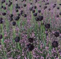 Где сажать черные цветы