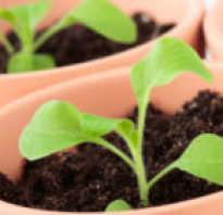 Посев семян петунии в открытый грунт