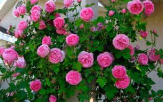 Как укрывать вьющиеся розы на зиму фото