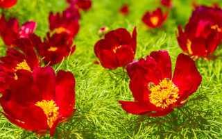 Какие ещё бывают виды травянистых растений пионы