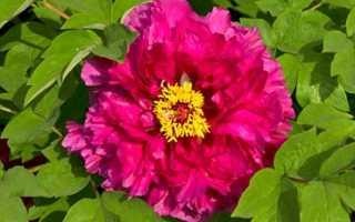 Древовидный пион любимые цветы