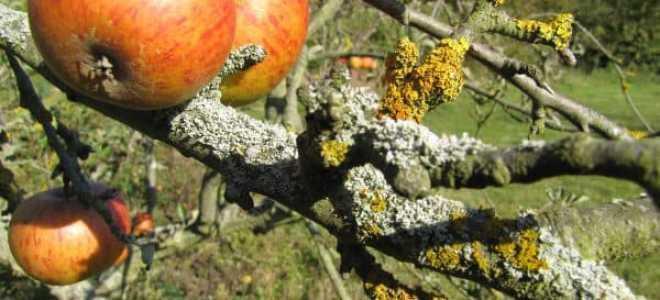 Зеленый налет на яблонях