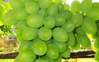 Виноград подарок описание сорта фото отзывы