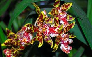 Орхидеи онцидиумы уход и лучшие виды для домашней коллекции