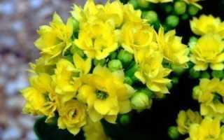 Красножелтые цветы глориоза каланхоэ лахеналия лядвенец