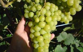 Галбена ноу виноград фото