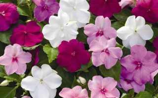 Цветы в доме красочные бальзамины