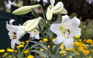 Выращивание и уход за лилиями