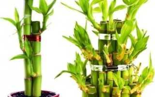 Комнатный бамбук или драцена сандера