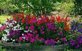 Цветы петунии посадка и уход за этими прекрасными цветами фото